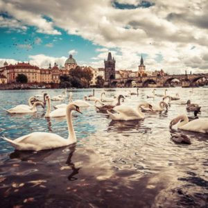 White swans near Charles Bridge in Prague free stock photos picjumbo Viktor Hanacek