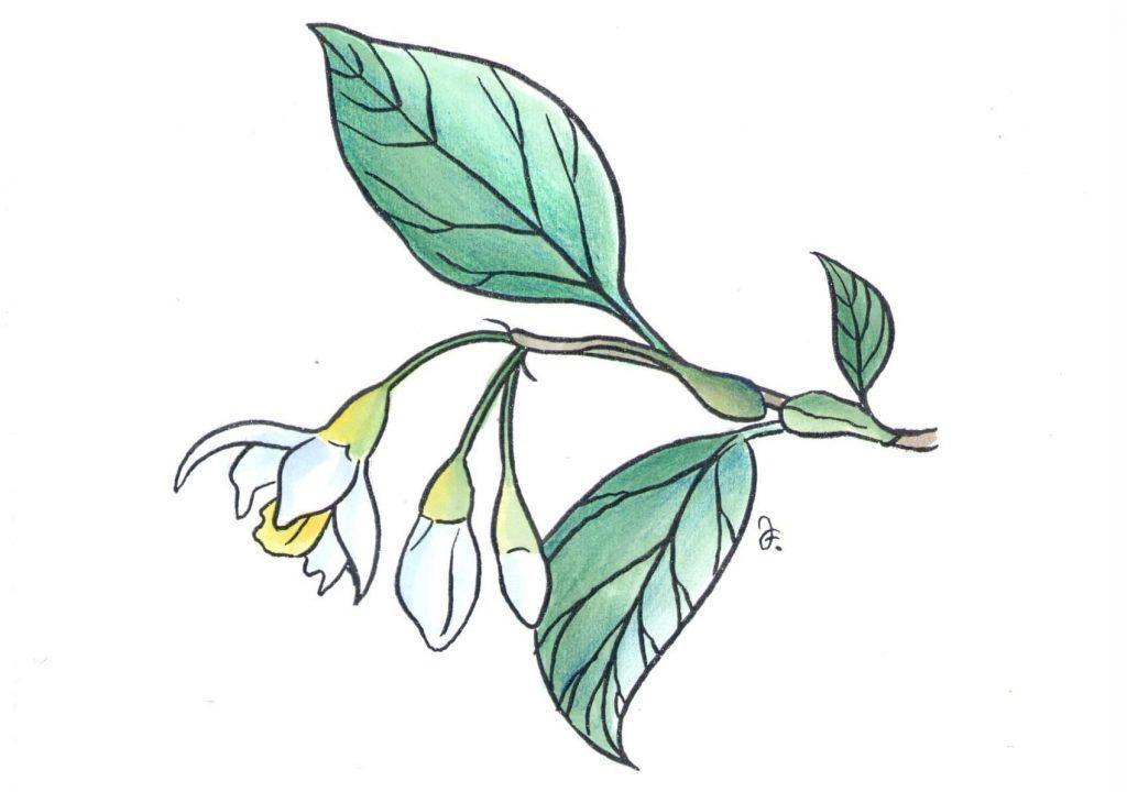 Sturač tonkinský neboli storax, který pochází ze severního Vietnamu. (Kresba: Jiří Filípek)
